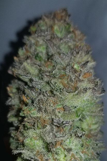 Blueberry Diesel 1